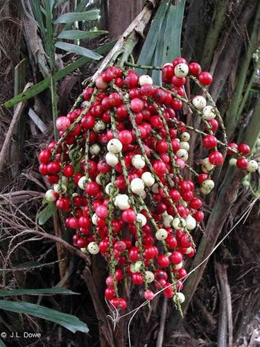 Palma Arén Frutos